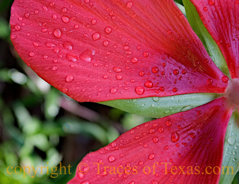 Title: Texas Star Hibiscuis<br /> <br /> Comments: Texas Star Hibiscus, Hibiscus coccineus, is a one of my very favorite Texas native flowers. I didn't have to go far to get this one ---- it is in my garden.<br /> <br /> Location:  Austin