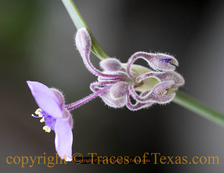 Title:   At the Bottom of a Crooked Crevasse<br /> <br /> Comments: Spiderwort (Tradescantia virginiana) is a beautiful Texas native --- but invasive. Be careful if you decide to plant it. <br /> <br /> Location: Enchanted Rock State Park