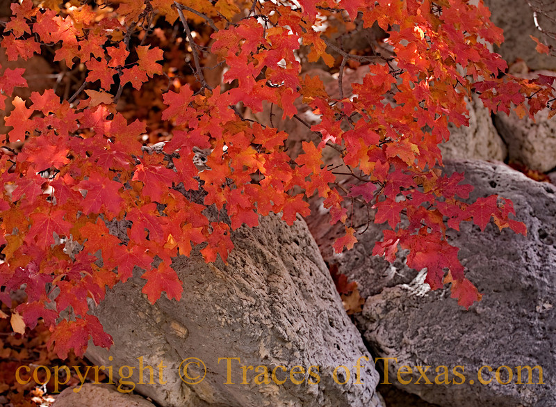 <br><br>Title: Maple Leaf Rag  Comments:  Mckittrick Canyon in late October is the most beautiful spot in Texas.  Location:  Guadalupe Mountains