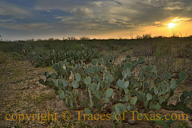 Flowers, Sage, Mesquite ... and Prickley Pear