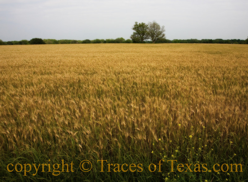 Wheat field near Taylor, Texas in 2010.