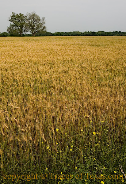 Wheat field and flowers near Taylor, Texas in 2010.