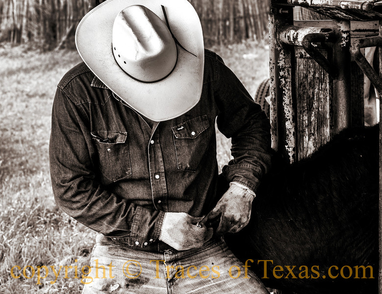Title:  Themselves and their Slow-Moving Dreams<br /> <br /> Comments: After we castrate a calf we cut a notch in its ear so we can see from a distance that he has been fixed. <br /> <br /> Location:  Bend