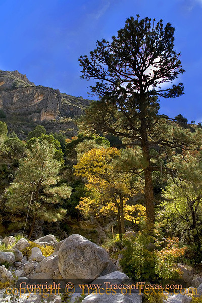 """Title:   Black Elk said  """"Behold, all the wings of the air shall come to you and they and the wind and the trees will be like relatives.""""<br /> <br /> Comments: Leaves of gold in the magnificent and beautious Guadalupe Mountains National Park.<br /> <br /> Location: Guadalupe Mountains National Park"""