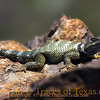 Title:   Lenny, The Crevice Spiny Lizard<br /> <br /> Comments: Sceloporus poinsettii is a small, phrynosomadtid lizard. I don't know what I just wrote, but it sure does sound pretty, eh?  <br /> <br /> Location: The South Rim in Big Bend
