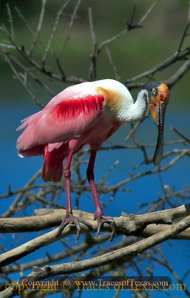 Title:   Boss Spoonbill <br /> <br /> Comments: The Roseate Spoonbill (Platalea ajaja) is one of the most unusual-looking birds in Texas. Prized for its plummage it was nearly hunted to extinction a few decades ago but has made a comeback. <br /> <br /> Location: High Island, Texas