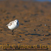 Title:   Sanderling Sunning<br /> <br /> Comments: This Sanderling (Calidris alba ) is very proud of his sleek, sexy body.  He primped and preened for me and made it very clear that he knew he has it going on.<br /> <br /> Location: Port Bolivar, Texas
