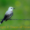 Title:   Scissortail <br /> <br /> Comments: <br /> <br /> Location: Salado