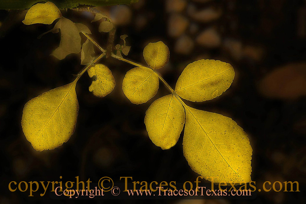 """Title:   Yellow<br /> <br /> Comments: :Long ago near Marfa a middle-aged woman loaded everything she owned onto a truck and drove the truck off a ravine into a canyon. After that, we are told, she lived """"like simple yellow leaves.""""<br /> <br /> Location: Marfa"""