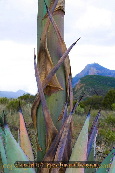 Title:   Agave and Mountain<br /> <br /> Comments: If only I could figure how they get tequila out of these things!<br /> <br /> Location: Overlooking Emory Peak, Big Bend National Park