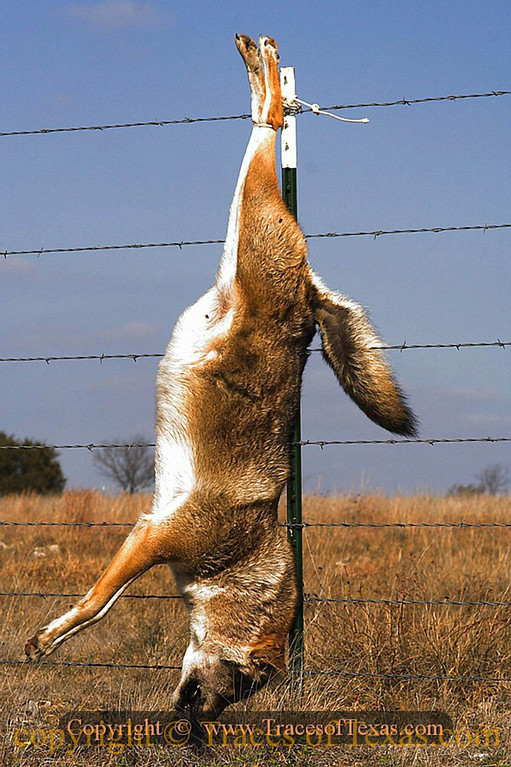 Title:   Road Runner ... the Coyote is no longer after you<br /> <br /> Comments: Coyotes are a huge nuisance here in Central Texas, so ranchers kill them and string them up on a fence as a warning to other coyotes. It seems to be somewhat effective. <br /> <br /> Location: Goldthwaite