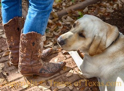 This yellow lab was sad because he was not allowed on the dance floor!Luckenbach