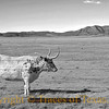 Title:   Staring Contest<br /> <br /> Comments: This longhorn lost.<br /> <br /> Location: West Texas