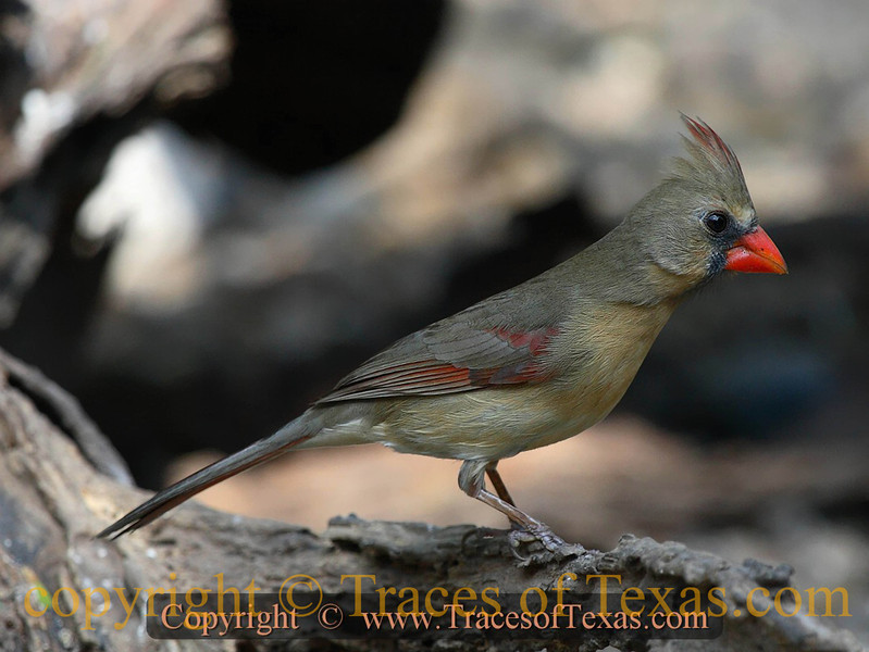 Title:  While Strolling Through My Neighborhood <br /> <br /> Comments: My neighbor had this beautiful female cardinal in his front yard. <br /> <br /> Location: Austin