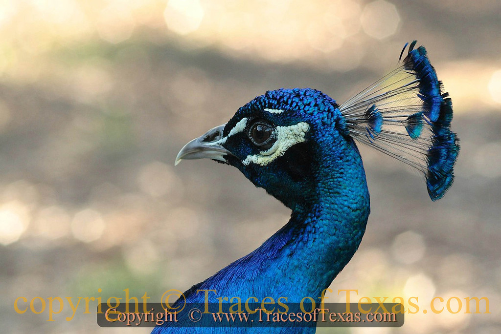 Title:   Elvis Peacock<br /> <br /> Comments: Some people have guard dogs. I have a guard peacock. Nothing enters my yard at any time of day or night without an accompanying banshee scream. <br /> <br /> Location: Austin, Texas