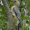 Title:   Wonder Woodpecker <br /> <br /> Comments: <br /> <br /> Location: Brackettville