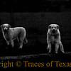 Title:   Ghost Dogs<br /> <br /> Comments: Coming out to see what I was up to. I didn't hear them and one of them came up from behind me and nuzzled me in the rear end, making me jump out of my skin. But they were friendly enough. <br /> <br /> Location: Elgin, Texas