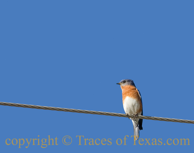 "Title:  You'd Be a Sad One<br /> <br /> Comment: This Western Bluebird was kind enough to sit on a wire and pose for me. I was thinking, ""what a showoff!""  But then I thought  ""Were I this beautiful, I would be, too."" <br /> <br /> Location:  The wire outside your house."