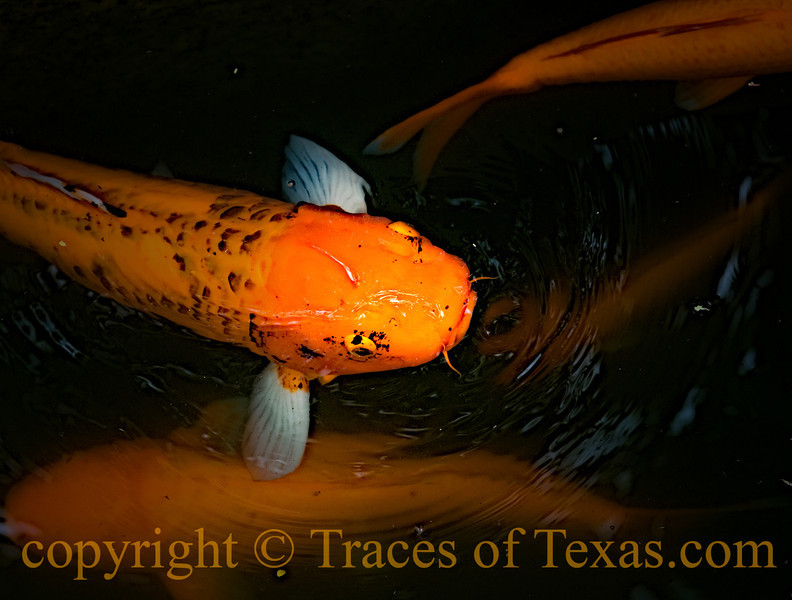 Title: Not-so-Coy Koi<br /> <br /> Comments:  This is one of the luckiest koi fish in the world, on account of he gets to live at the Alamo. <br /> <br /> Location:  San Antonio
