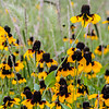 Title:  Mexican Hat Dance, Part Deux<br /> <br /> Comments: Ever seen flowers frolicking?<br /> <br /> Location: