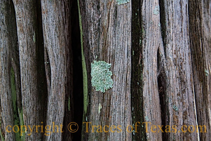 Title:  Cypress Salvation<br /> <br /> Comments: Abstracts are where you find them ----- in this case the bark of a cypress tree.<br /> <br /> Location:  Colorado Bend State Park