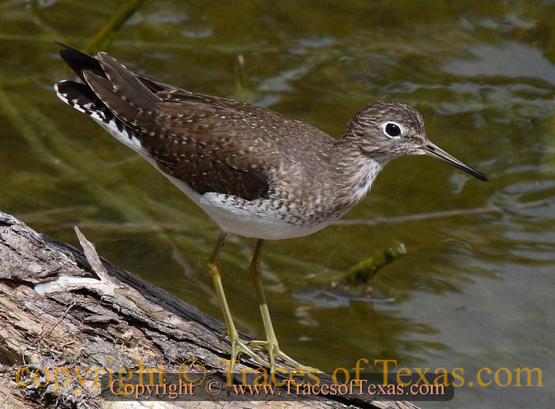 Title:   100 Years of Solitary Sandpiper<br /> <br /> Comments: The Solitary Sandpiper, Tringa solitaria, is a very long distance migrator. It breeds in far northern areas of Canada and Alaska and winters in Central and South America, using Texas as a pit stop.<br /> <br /> Location: Audubon Sabal Palm Reserve, Brownsville Texas