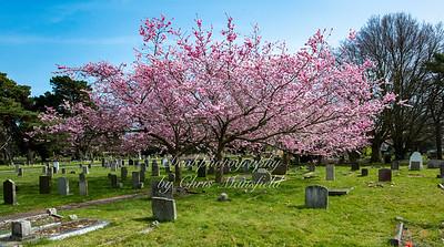 March 31st 2021 .  Hamilton road cemetery , Cherry Blossom trees