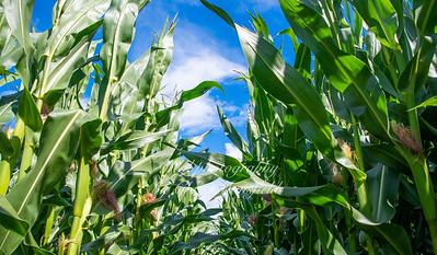 Aug' 7th 2021 .  Walmer cornfield