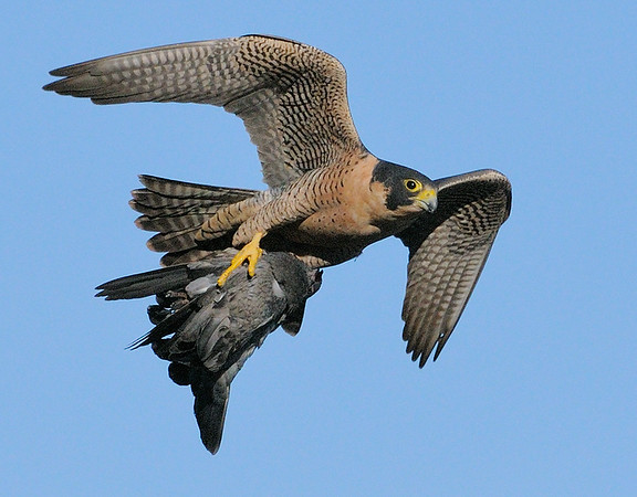 2009 Peregrine Falcon with Pigeon by Debbie Beals