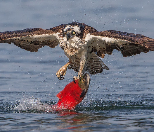 2017 Osprey With Big Red by Neil Solomon