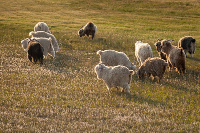 Sheep and glowing fields
