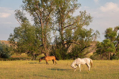 Horses in pasture - Longmoint, Colorado