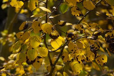 Sptted golden Asepn leaves