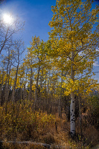 Aspen and grove and sunshine