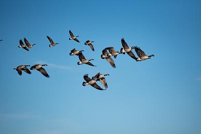 Gesse migrating