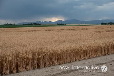 Wheat field and Boulder Flatirons