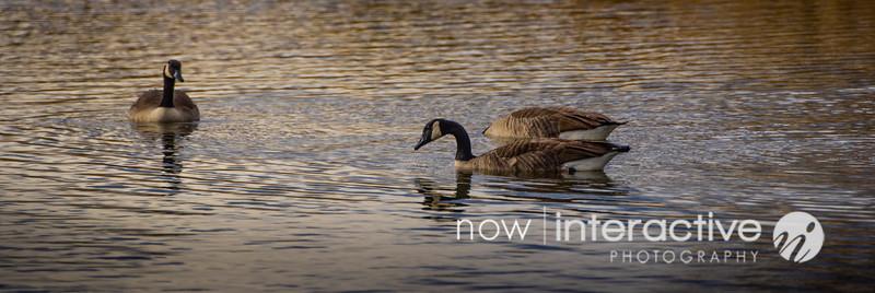 geese in ripples