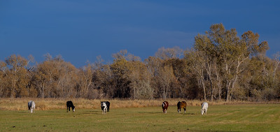 horses grazing in front of trees - Hygene-Colorado