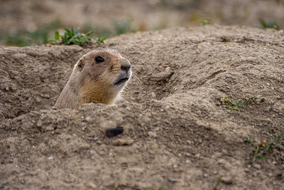 Prairie Dog Pokin its head up