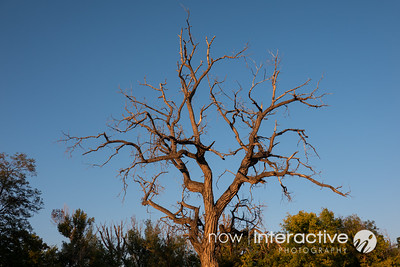 Scraggly tree at sunset - Hytene, Colorado