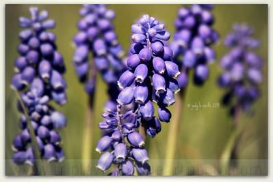 grape+hyacinth+IMG_6831-3535107398-O