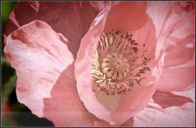 IMG_2193+poppy+pink+holga+fade-3552931558-O