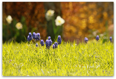 grape+hyacinth+landscape+IMG_6-3535112983-O