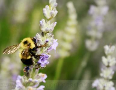 lavender bee & pollen