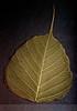 Life Lines ~ Olive Bodhi Leaf