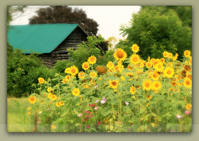 tobacco barn sunflower field green