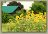 tobacco barn sunflower field green