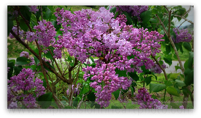 My Lilac Bush Today