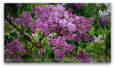 My Lilac Bush Today