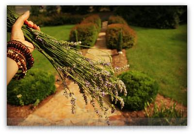 fistful of lavender